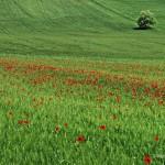 Canavaccio, Urbino