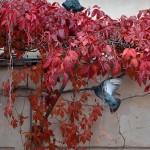 Pigeons in Venezia